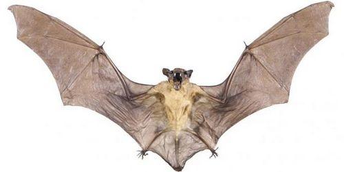 Apakah Kelelawar Rabies? orang sangat